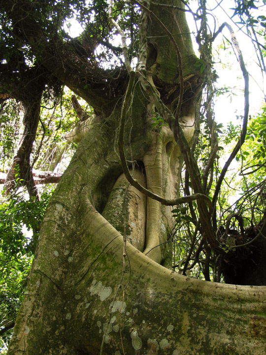 Banyon tree in Ilha Grande, Brazil, 2002.